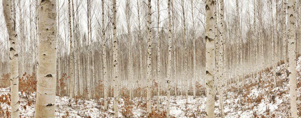 white birch